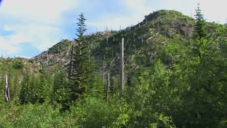 Bare-evergreen-trees-remain-on-a-hillside-after-deforestation-at-Mt-St-Helens-National-Park