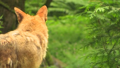 A-coyote-stands-in-a-forest-at-day-coyote-forest-day-dog-predator-animal-nature-wilderness-beauty-mammal