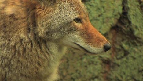 Tagsüber-Steht-Ein-Kojote-In-Einem-Wald