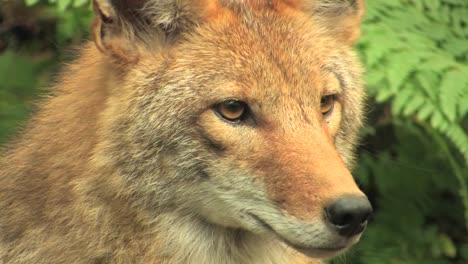 Ein-Kojote-In-Einem-Wald-Am-Tag