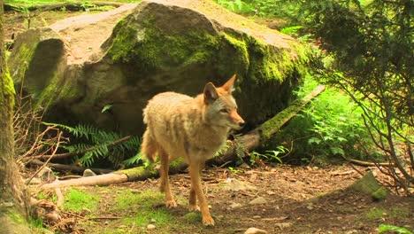 Kojoten-Laufen-Tagsüber-Durch-Einen-Wald