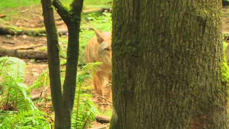 Ein-Kojote-In-Einem-Wald-An-Tag-1