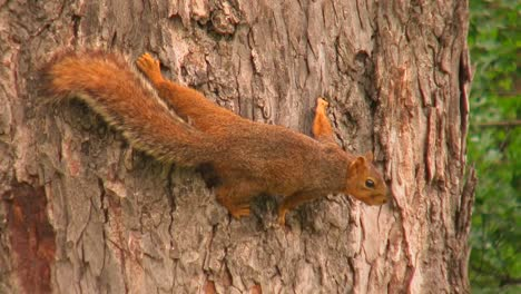 A-squirrel-grips-the-bark-of-tree-trunk