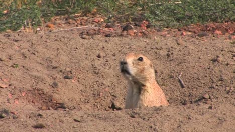 A-prairie-dog-peers-out-of-his-hole-in-the-ground