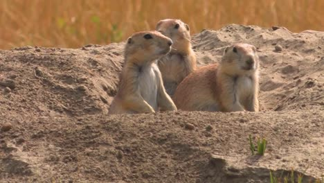 A-prairie-dog-peers-out-of-his-hole-in-the-ground-1