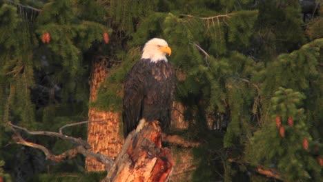 Un-águila-Calva-Americana-Se-Sienta-En-La-Rama-De-Un-árbol