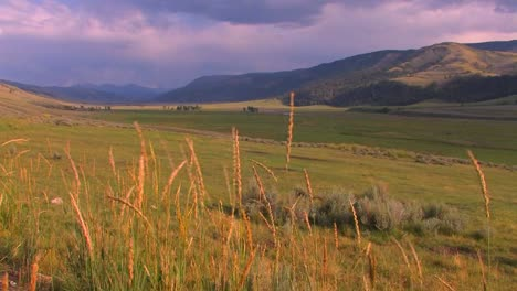 Reeds-blow-to-and-fro-in-a-beautiful-field-in-Yellowstone-National-Park
