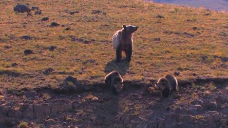Un-Oso-Grizzly-Y-Sus-Cachorros-Caminan-Por-Una-Ladera
