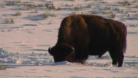 A-buffalo-grazes-in-the-snow-in-Yellowstone-National-Park