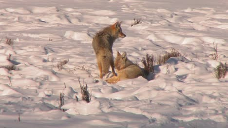 -foxes-sit-in-deep-snow