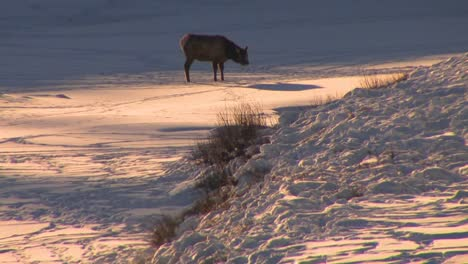 An-elk-stands-in-distant-snowscape