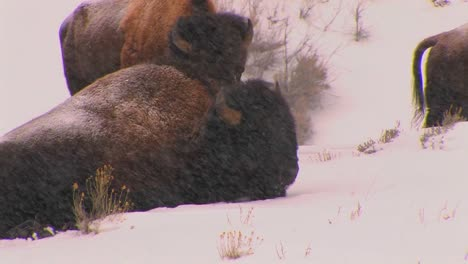 Buffalo-lie-down-in-a-driving-snow-in-Yellowstone-National-Park