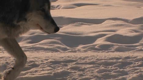 Un-Lobo-Merodea-En-La-Nieve-Con-Su-Manada