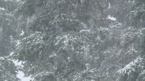 Heavy-snow-falls-in-a-forest-1