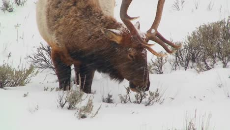 A-large-male-elk-grazes-in-the-snow