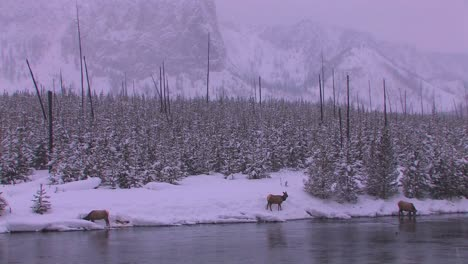 Elk-gather-at-a-stream-in-a-frozen-Yellowstone-scene