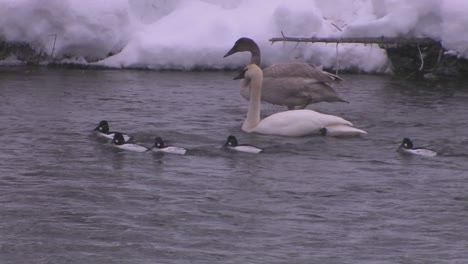 Ducks-swim-in-a-freezing-river-during-a-snowstorm