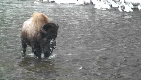 A-buffalo-walks-across-a-river-in-the-snow-in-Yellowstone-National-Park
