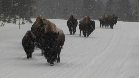 Buffalo-walk-down-a-road-in-heavy-snow-in-Yellowstone-National-Park