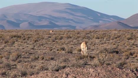 Impalas-eat-and-roam