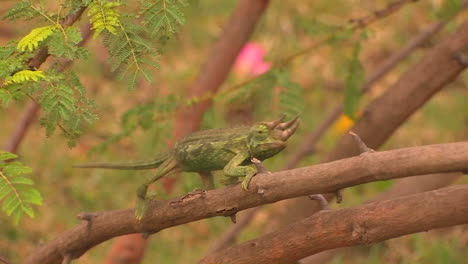 A-threehorned-chameleon-slowly-travels-across-a-branch