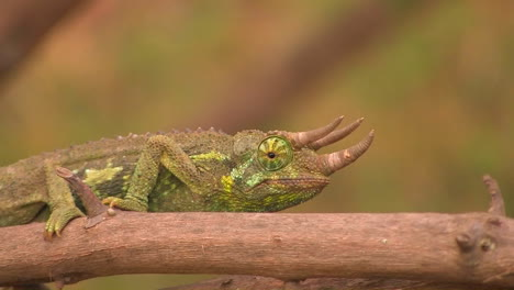 A-horned-lizard-crawls-slowly-across-a-branch-revolving-his-eye-to-look-around