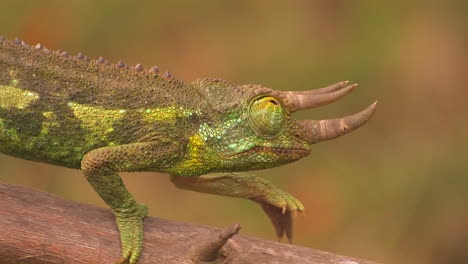 A-horned-chameleon-walks-through-the-branches
