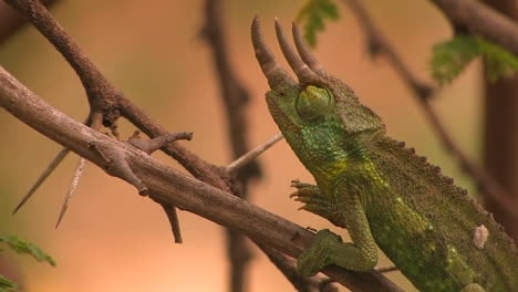 A-trihorned-chameleon-slowly-and-carefully-ascends-a-thin-ant-covered-branch