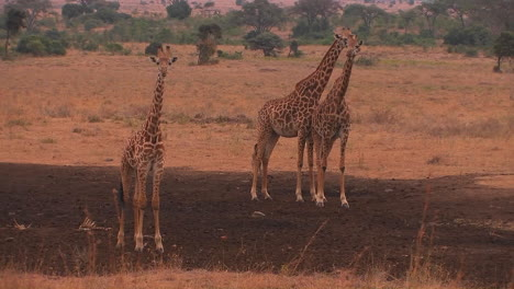 Three-giraffes-stand-on-the-plain-chewing-and-looking-around