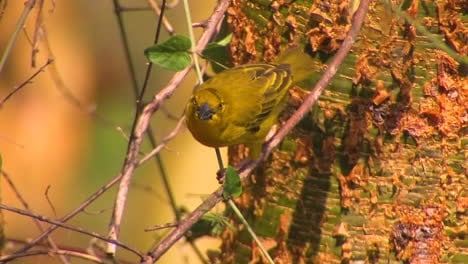 A-yellow-bird-is-perched-on-a-thin-branch-pecking-at-leaves