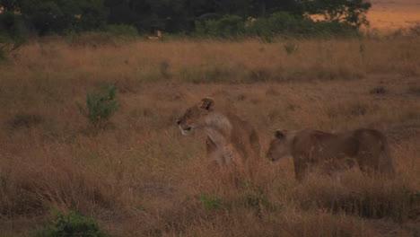 A-lioness-walks-through-wild-grass