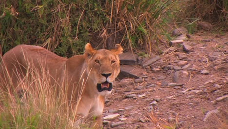 A-female-lion-panting-and-looking-around-near-tall-grass