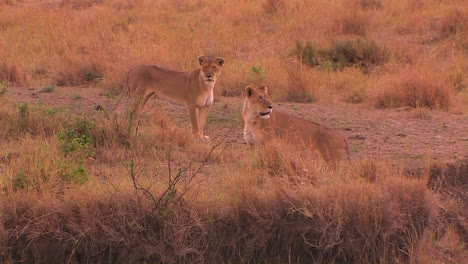 A-lioness-walks-to-the-right-and-looks-around-with-another-lioness-in-a-grassy-field