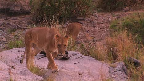 A-lioness-walks-around-in-her-habitat
