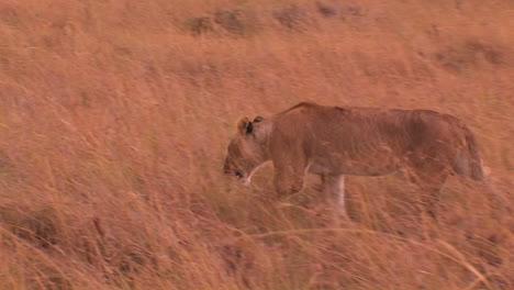 Lioness-walks-through-tall-grass