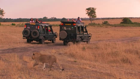 A-lioness-walks-across-a-plain-as-observers-sit-in-their-vehicles-and-watch-and-take-pictures