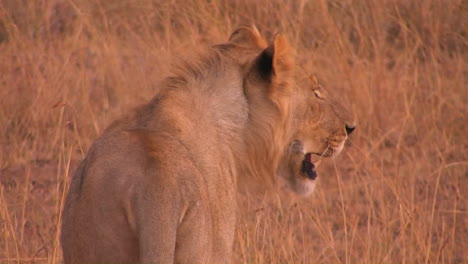 A-young-lioness-walks-across-a-dry-field