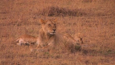 Two-lions-sit-together-one-looking-around-while-the-other-one-sleeps