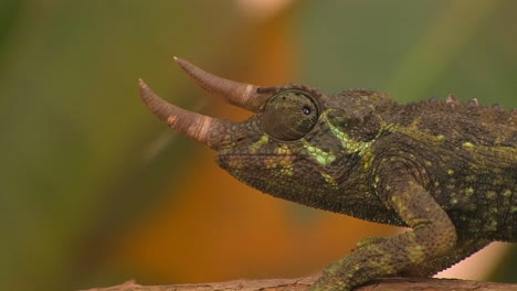 A-horned-chameleon-rotating-its-eyes