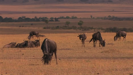 A-herd-of-wildebeests-graze-and-rest-on-the-plain