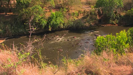 A-large-group-of-hippopotamuses-wallow-in-a-river