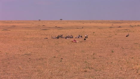 A-group-of-vultures-stand-close-to-an-animal-carcass