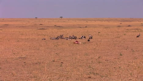 A-group-of-vultures-sit-around-after-devouring-most-of-a-carcass