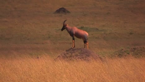 An-antelope-stands-on-top-of-a-dirt-mound-staring-ahead