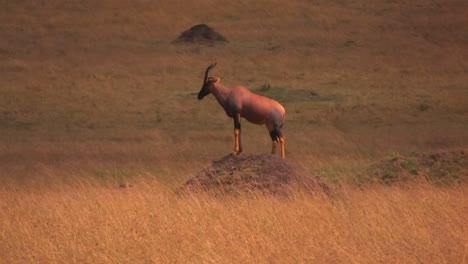 Chamois-on-a-hill-in-savanna