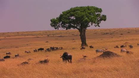 Zebras-and-wildebeest-occupy-a-grassy-plain
