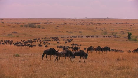 A-large-herd-of-wildebeest-moves-across-a-plain