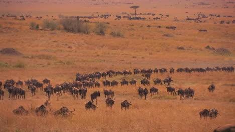 A-large-herd-of-wildebeest-roam-a-grassy-plain