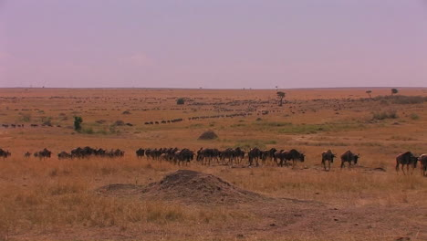 A-herd-of-wildebeest-walk-across-a-plain