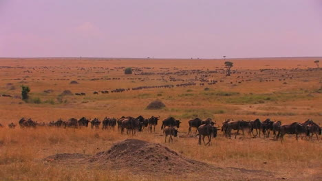 A-long-line-of-wildebeests-travels-across-the-plains